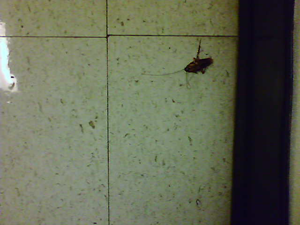Big Cockroach